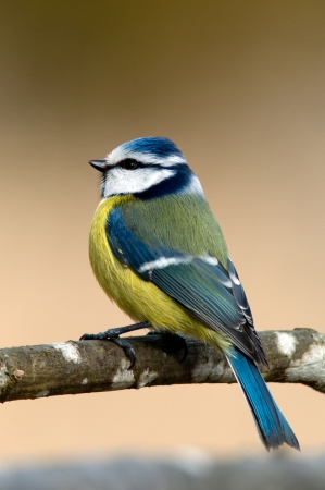 A bluetit is sitting and watching on a branch with a soft background  Uppland, Sweden photo