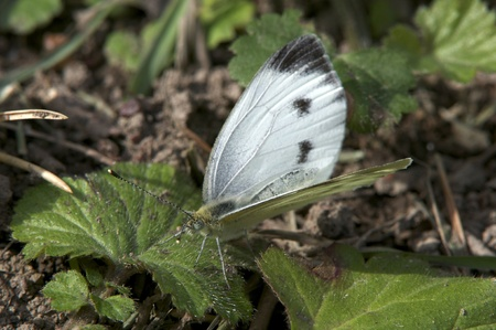 The Large White  Pieris brassicae  also called Cabbage Butterfly or Cabbage White, a female in second generation  Uppland, Sweden Stock Photo - 18998996