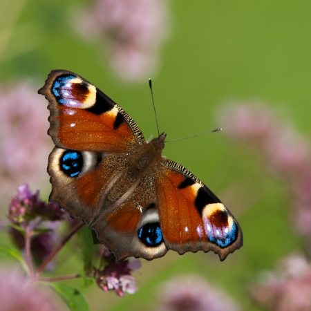 The peacock butterfly sucking nectar from an oregano flower in Uppland, Sweden Stock Photo - 19023168