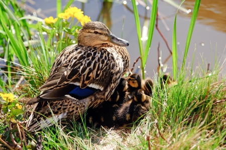 speculum: The female Mallard or Wild Duck  Anas platyrhynchos  shows her deep blue speculum feathers, here with twelve ducklings under her plumage in Uppland, Sweden