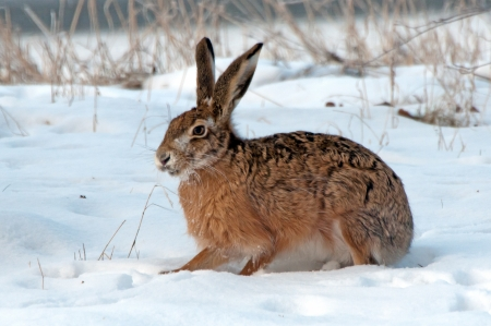The European hare  Lepus europaeus  on a snowy field in Uppland, Sweden