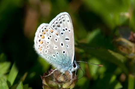 The Common Blue is a small beautiful butterfly who lives in open places with grass as meadows or lawns, Uppland Sweden photo