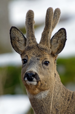 roebuck: A closeup of a beautiful roebuck with his new antlers which still are covered with velvet, Uppland, Sweden