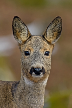 A portrait of a beautiful female roe deer, Uppland, Sweden