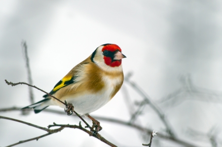 The beautiful and colorful European Goldfinch   Carduelis carduelis  looking for seed in Uppland, Sweden Stock Photo