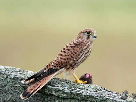 vole: The young kestrel wiht her catch of a vole on the old wooden fence against a defocused background  Uppland, Sweden Stock Photo
