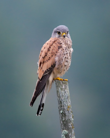 A beautiful colored male kestrel sitting watching from an old wooden fence pole with a nice matching background in Uppland, Sweden