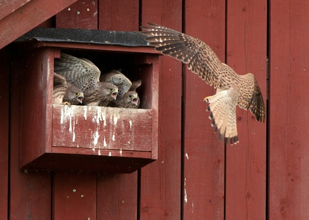 The female kestrel arriving to three hungry nestlings in the nest with a vole in her beak  Uppland, Sweden photo