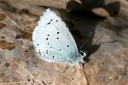 hindwing: The Holly Blue  Celastrina argiolus  is a butterfly in the family Lycaenid or Blue  It is first out of the blues in the spring, here on an aspen leaf in Uppland, Sweden, Stock Photo