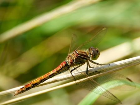 vulgatum: A dragonfly  Red sympetrum vulgatum  on a straw in Uppland, Sweden Stock Photo