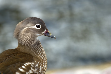 The beautiful female Mandarin Duck  Aix galericulata  a closeup with her typical  white eye-ring and stripe running back from the eye and has a small white flank stripe, and a pale tip to its bill  Visiting a dam  Svandammen  in central Uppsala, Sweden photo