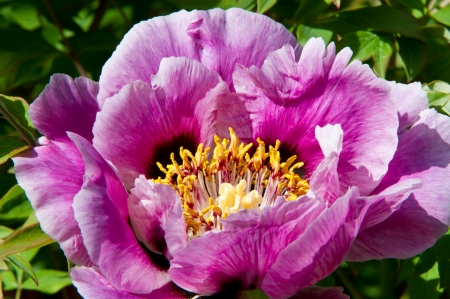 The beautiful and sumptuous flowering tree peony Stock Photo - 19630995