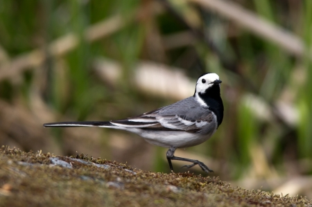 wagtail: A wagtail strolling down the mossy rock