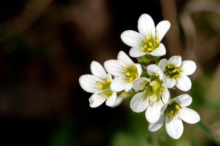 초원 바위취 Saxifraga는 Uppland의, 스웨덴에 이른 여름에 흰색 아름다움 꽃을 granulata