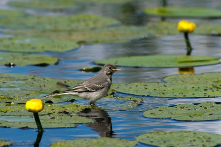 nymphaeaceae: The juvenile White Wagtail  Motacilla alba  have the dinner served at the yellow water lilies leaf in Uppland, Sweden Stock Photo