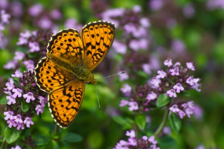 The beautiful Lesser Marbled Fritillary Butterfly  Brenthis ino  on flowering Lemon thyme  Thymus citriodorus    Uppland, Sweden photo