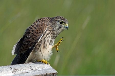 give me five: Give me five     seems the juvenile kestrel  Falco tinnunculus  say in Uppland, Sweden