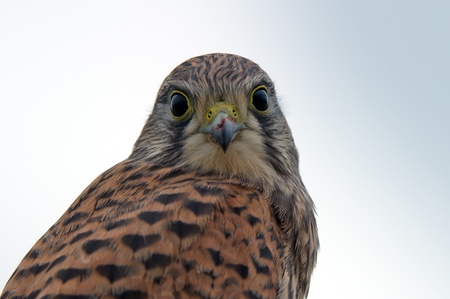 Kestrel, juvenile, face to face  After the last meal, still with meat on the beak, flew the juvenile kestrel up on the fence and looks down to me    in Uppland, Sweden Imagens