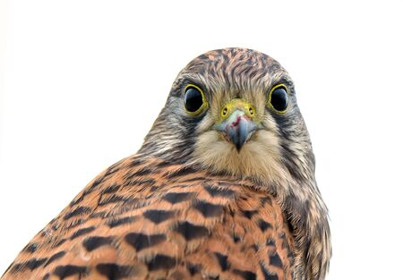 flew: Kestrel, juvenile, face to face  After the last meal, still with meat on the beak, flew the juvenile kestrel up on the fence and looks down to me    in Uppland, Sweden Stock Photo