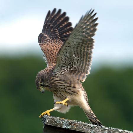 vole: De mooie jonge torenvalk Falco tinnunculus laat zien hoe ze veroverde de muis, in Uppland, Zweden Stockfoto