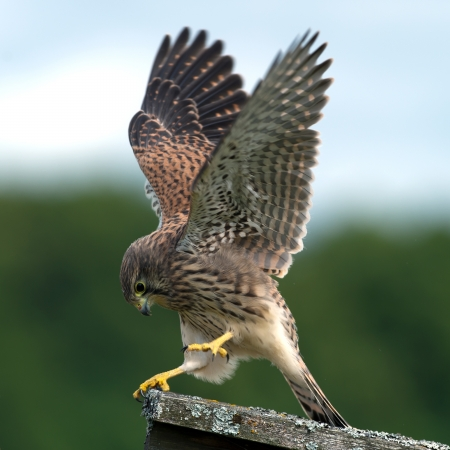 falcon: The beautiful juvenile kestrel  Falco tinnunculus  shows how she captured the mouse, in Uppland, Sweden