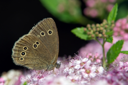 aphantopus: The Ringlet  Aphantopus hyperantus  drinking nectar from Spiraea japonica  Stock Photo
