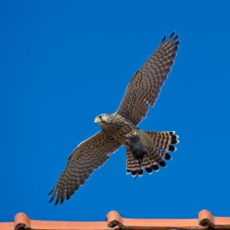vole: De juveniele torenvalk Falco tinnunculus met de vangst in de klauwen, een grote woelmuis, in Uppland, Zweden