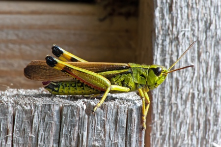 The beautiful Large Marsh Grasshopper  Stethophyma grossum  in Uppland, Sweden