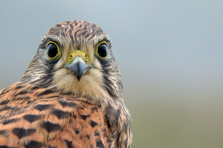 flew: Kestrel, juvenile, face to face  After the last meal, still with meat on the beak, flew the juvenile kestrel up on the fence and looks down to me    isolated, in Uppland, Sweden