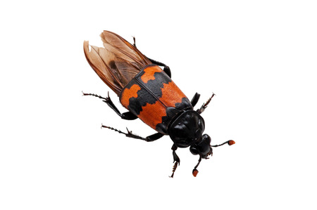burying: The Burying beetle  Nicrophorus vespilloides  with its big antennas can smell dead meat miles away, fly to the dead corp and bury it, plant the eggs in the meat    Stock Photo
