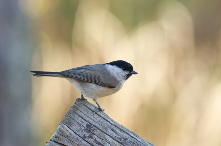 poecile palustris: Marsh Tit, in Sweden and IUCN  Parus palustris and in north america  AOU  Poecile palustris, a passerine bird around 12 cm long, here seeking seeds in the old wooden fence  Uppland, Sweden