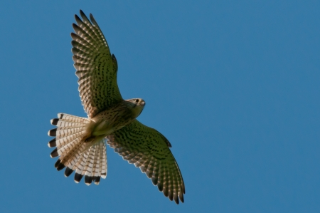 hovering: The hovering Kestrel  Falco tinnunculus  in search for a vole  In Uppland, Sweden