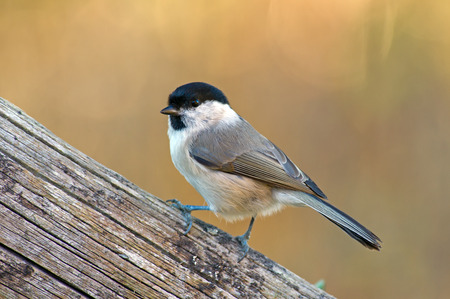 The Marsh Tit is here seeking seeds in the old wooden fence  Uppland, Sweden Stock Photo - 23249996