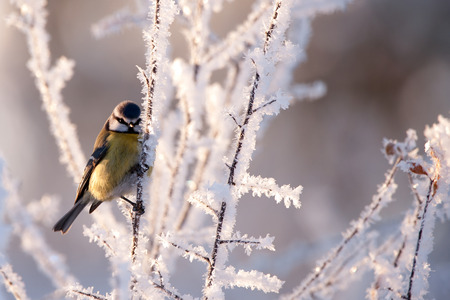 A Blue Tit  Parus caeruleus  in the frosty landscape  Uppland, Sweden Stock Photo