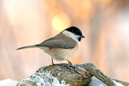 The Marsh Tit  Poecile Parus palustris  is here seeking seeds in the old branch  Uppland, Sweden photo