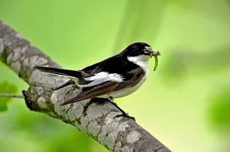 deliverer: The beautiful male flycatcher as a food deliverer with absolute fresh food Stock Photo