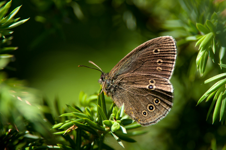 Like a dark beauty in the shadow of a juniper shrub were this grayling  ringlet seated  Uppland, Sweden