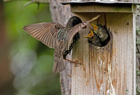The beautiful common starling  Sturnus vulgaris , feeding the nestlings at the nest box in Uppland, Sweden Reklamní fotografie