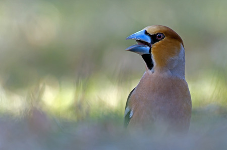 The Hawfinch  Coccothraustes coccothraustes  looking around in Uppland, Sweden photo