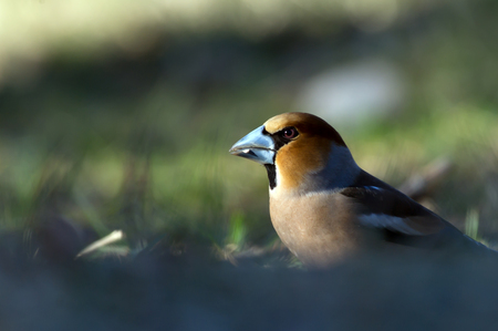 The Hawfinch photo
