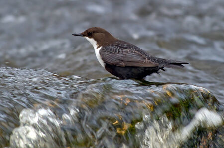 aquatic bird: The White-throated Dipper  Cinclus cinclus , also known as the European Dipper or just Dipper, is an aquatic passerine bird found in the streams of Fyris River in Uppsala, Sweden  The White-throated Dipper is Norway