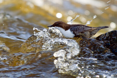aquatic bird: The White-throated Dipper  Cinclus cinclus  or just Dipper, is an aquatic passerine bird here found in the streams of Fyris River in Uppsala, Sweden  Stock Photo