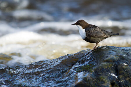 aquatic bird: The profile of the White-throated Dipper  Cinclus cinclus  or just Dipper, is an aquatic passerine bird found in the streams of Fyris River in Uppsala, Sweden  The White-throated Dipper is Norway Stock Photo