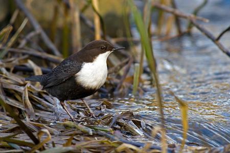 passerine: The White gola cinclus Merlo acquaiolo Cinclus o semplicemente Dipper, � un uccello passeriforme acquatica trovata nelle flussi di Fyris fiume a Uppsala, Svezia Il Merlo acquaiolo � la Norvegia Archivio Fotografico
