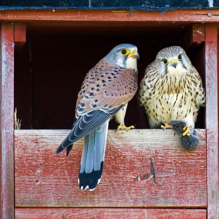 vole: De mooie mannelijke Torenvalk Falco tinnunculus heeft zopas de vrouwelijke Torenvalk een woelmuis Een deel van de paring, Uppland, Zweden Stockfoto