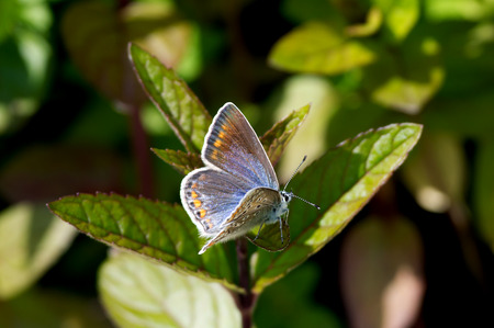 lycaenidae: The female Northern Blue or Idas Blue  Plebejus idas  in our herb garden in Uppland, Sweden Stock Photo
