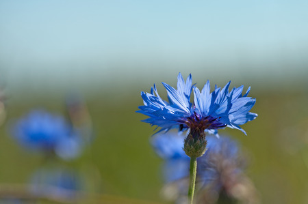 bachelor s button: Cornflower  Centaurea cyanus  also known as bachelor s button   In folklore, cornflowers were worn by young men in love; if the flower faded too quickly, it was taken as a sign that the man s love was not returned    Howard, Michael  Traditional Folk Reme Stock Photo