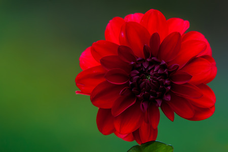pinnately: A beautiful red Dahlia with a green background in Uppland, Sweden. Dahlia are tuberous rooted perennials with pinnately divided leaves and showy flower-heads, double in many cultivars, in summer and autumn