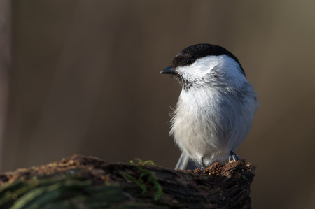 poecile palustris: Marsh Tit, in Sweden and IUCN  Parus palustris and in north america AOU Poecile palustris, a passerine bird around 12 cm long, here in the sun on the old wooden stub. Uppland, Sweden Stock Photo