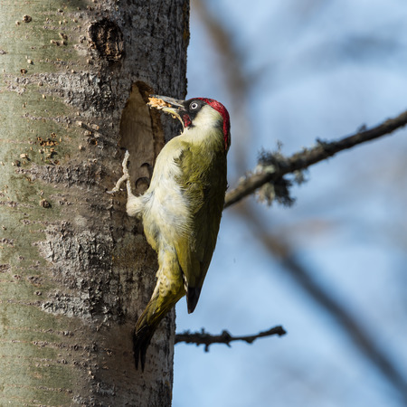 photgraphy: European green woodpecker Picus viridis with wood in the beak during excavation of  a nest hole in an aspen tree in Uppland, Sweden
